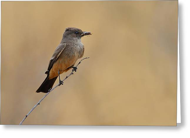 Say's Phoebe Greeting Card by Tony Beck