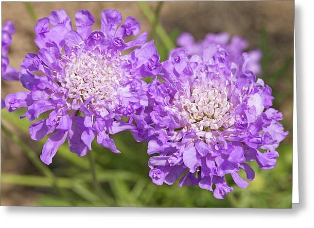 Scabiosa 'butterfly Blue' Flowers Greeting Card