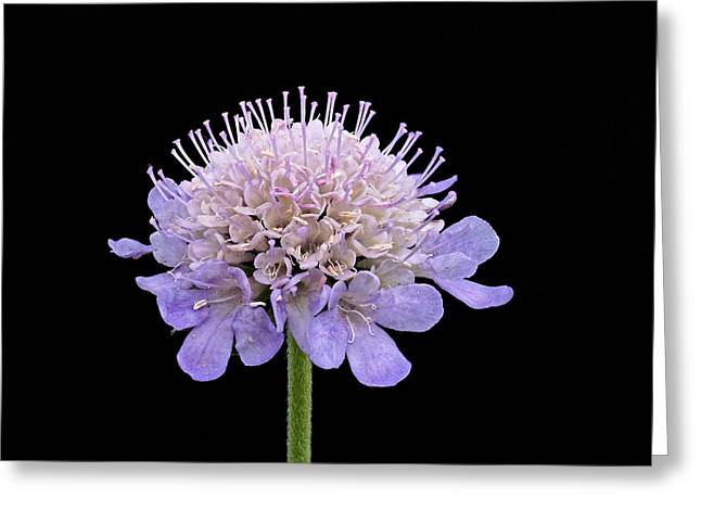 Greeting Card featuring the photograph Scabious  by Paul Gulliver
