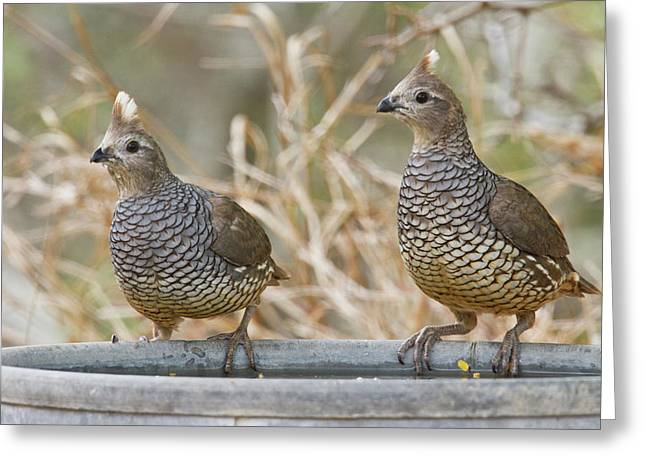 Scaled Quail (callipepla Squamata Greeting Card by Larry Ditto