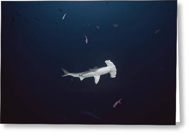 Scalloped Hammerhead Shark Greeting Card by Jeff Rotman