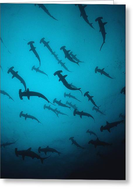 Scalloped Hammerhead Sharks Schooling Greeting Card by Jeff Rotman