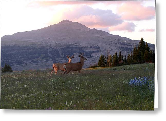Scapegoat Deer Morning Alpenglow Greeting Card by Pam Little