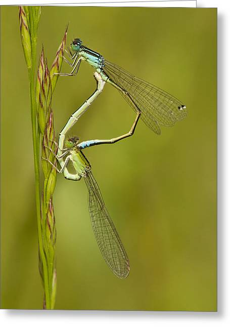Scarce Blue-tailed Damselfly Pair Greeting Card by Marcel Klootwijk