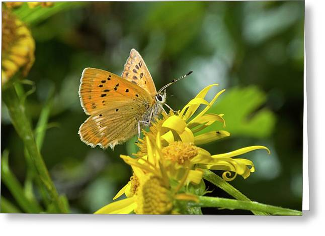 Scarce Copper Butterfly On Ragwort Greeting Card by Bob Gibbons