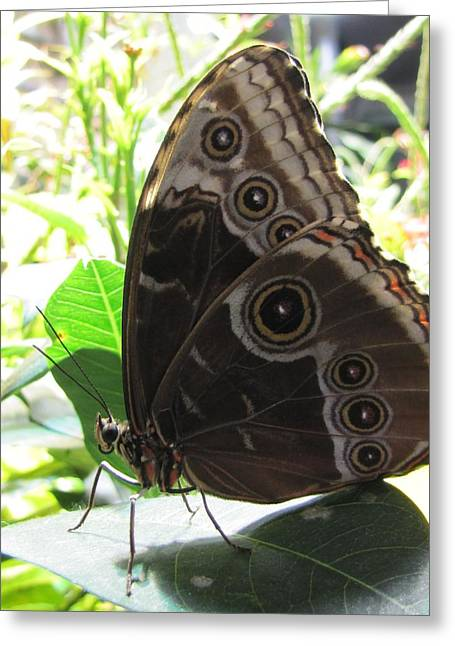 Scarce Morpho Greeting Card