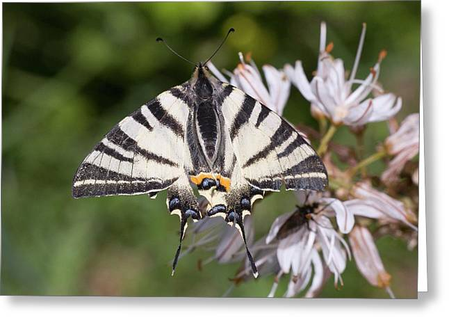 Scarce Swallowtail On White Asphodel Greeting Card by Bob Gibbons