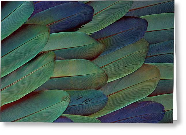 Scarlet And Blue Gold Macaw Wing Greeting Card by Darrell Gulin
