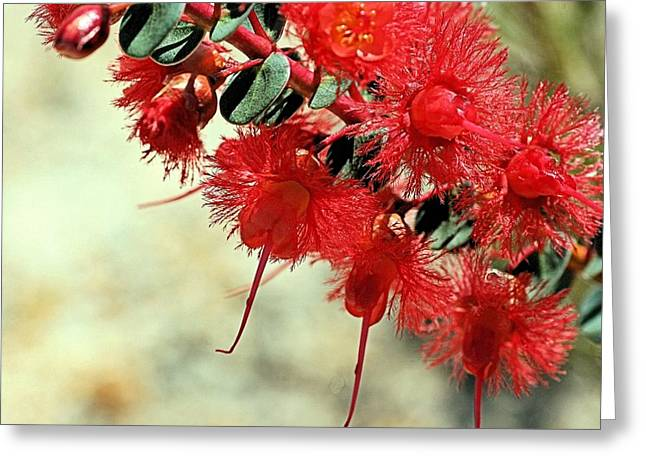 Scarlet Feather Flowers Greeting Card