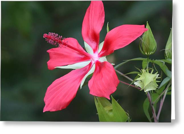 Scarlet Hibiscus #3 Greeting Card