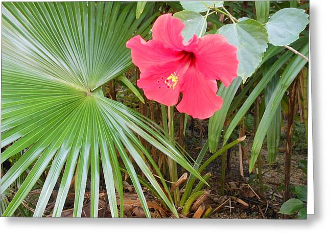Scarlet Hibiscus Greeting Card by Kay Gilley