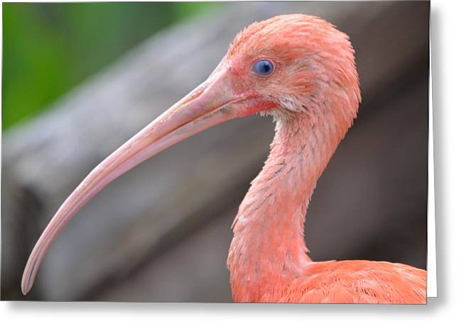 Scarlet Ibis 1 Greeting Card by Richard Bryce and Family