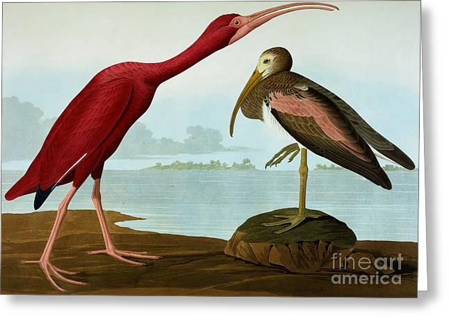 Scarlet Ibis Greeting Card by John James Audubon