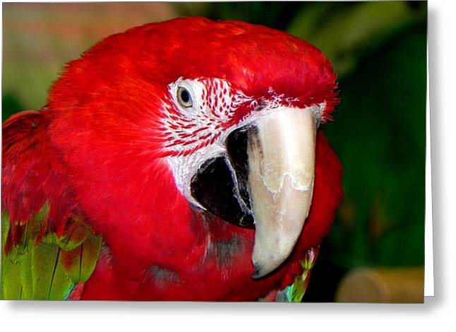 Greeting Card featuring the photograph Scarlet Macaw by Bill Swartwout