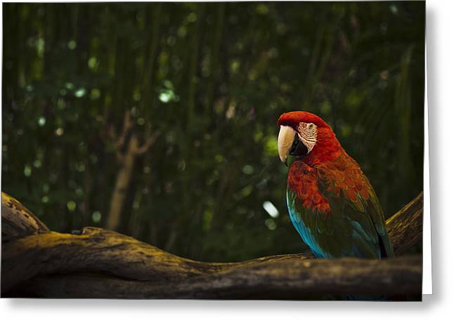 Scarlet Macaw Profile Greeting Card