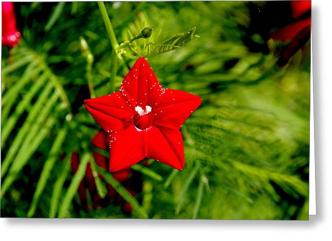 Scarlet Morning Glory - Horizontal Greeting Card by Ramabhadran Thirupattur