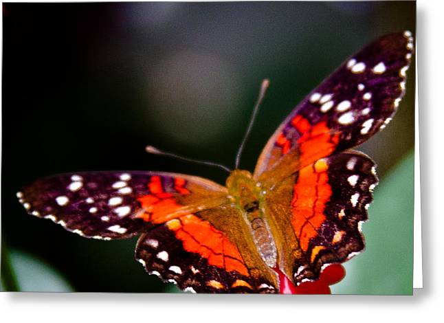 Buterfly Greeting Cards - Scarlet Peacock Butterfly - Anartia amathea Greeting Card by David Patterson