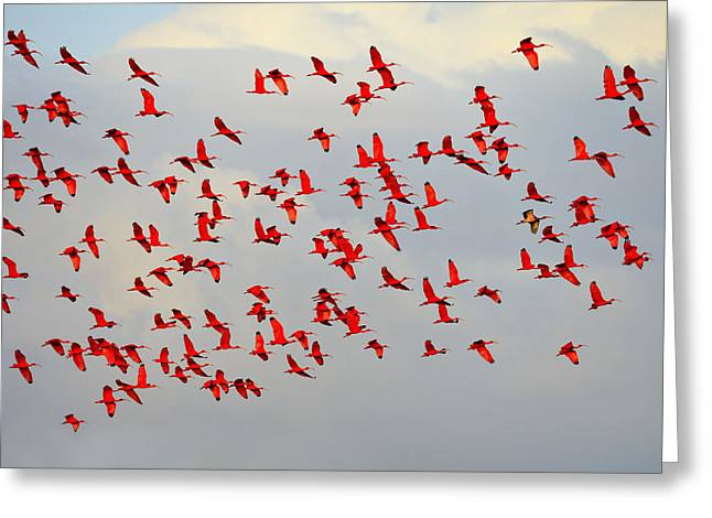 Scarlet Sky Greeting Card by Tony Beck
