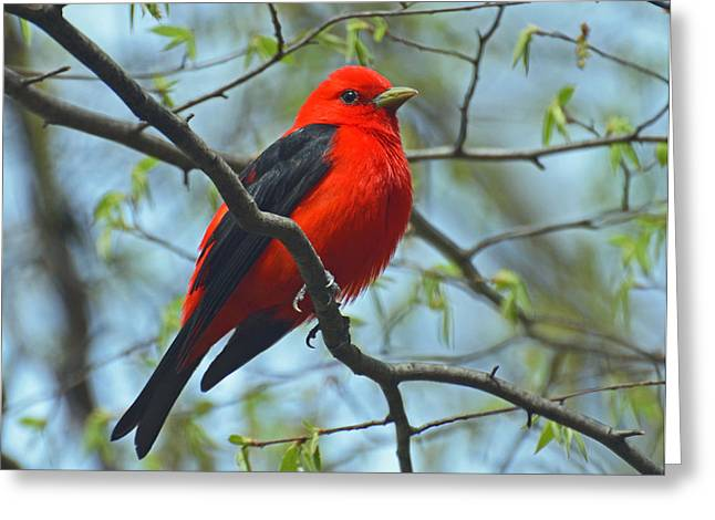 Scarlet Tanager In The Forest Greeting Card by Rodney Campbell