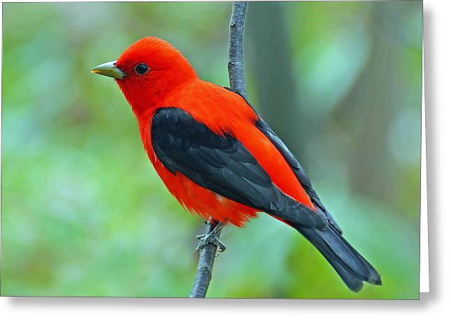 Scarlet Tanager Greeting Card by Rodney Campbell