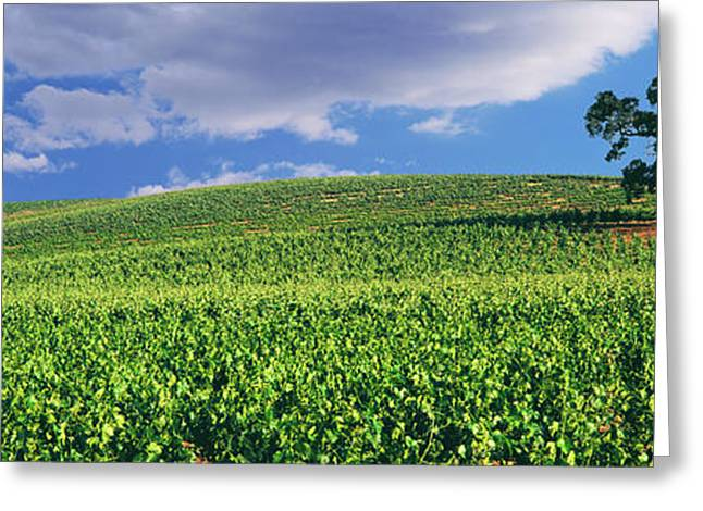 Scenic View Of A Vineyard, Paso Robles Greeting Card