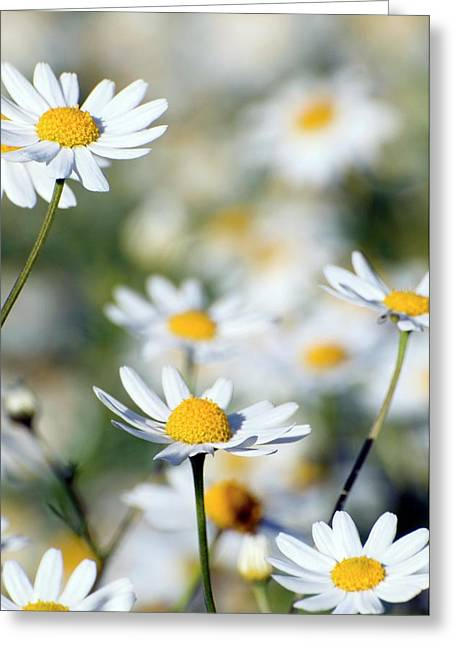 Scentless Mayweed (matricaria Maritima) Greeting Card by Dr. John Brackenbury/science Photo Library