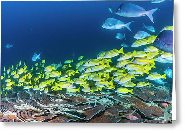 School Of Bluestripe Snappers Lutjanus Greeting Card