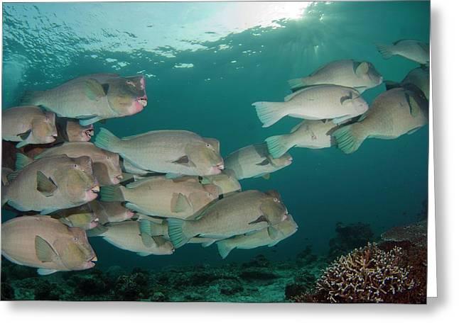 School Of Bumphead Parrotfish Greeting Card by Scubazoo