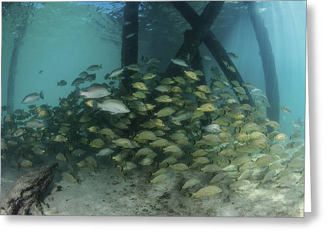 School Of Grunt Fish Beneath A Pier Greeting Card