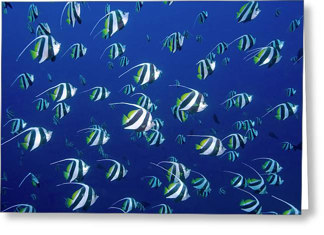 Schooling Bannerfish, Raja Ampat Greeting Card by Jaynes Gallery