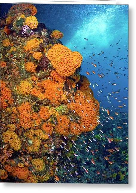 Schooling Fusiliers And Anthias Swim Greeting Card by Jaynes Gallery