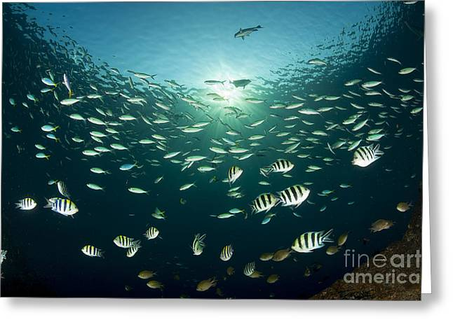 Schooling Indo-pacific Sergeant Fish Greeting Card