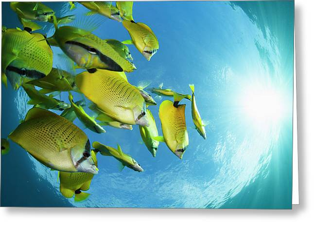 Schooling Milletseed Butterflyfish Greeting Card by Dave Fleetham
