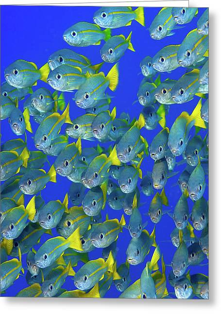 Schooling Yellowtail Snapper (ocyurus Greeting Card by Jaynes Gallery