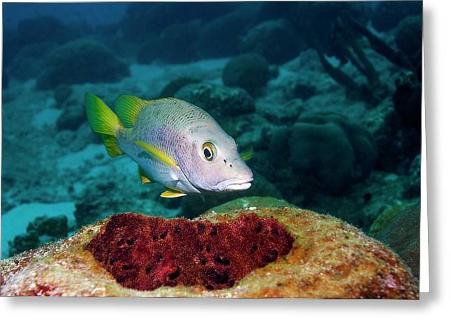 Schoolmaster Snapper On A Reef Greeting Card by Georgette Douwma