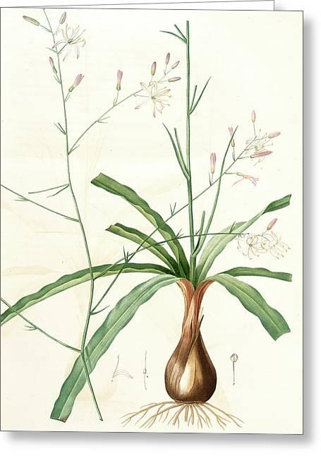 Scilla Pomeridiana, Chlorogalum Pomeridianum Scille De Greeting Card by Artokoloro