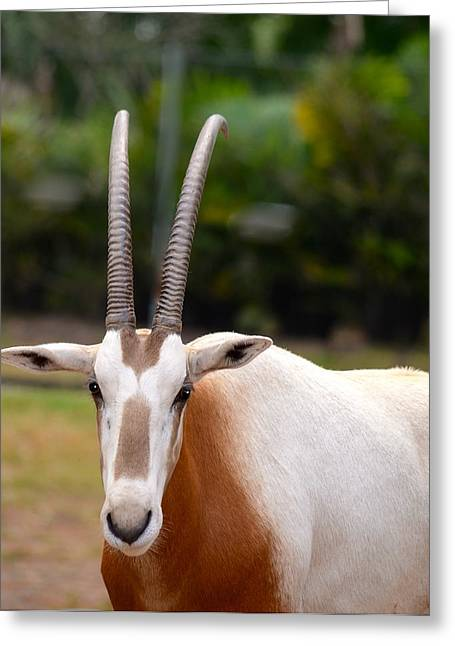 Scimitar Horned Oryx 2 Greeting Card by Richard Bryce and Family