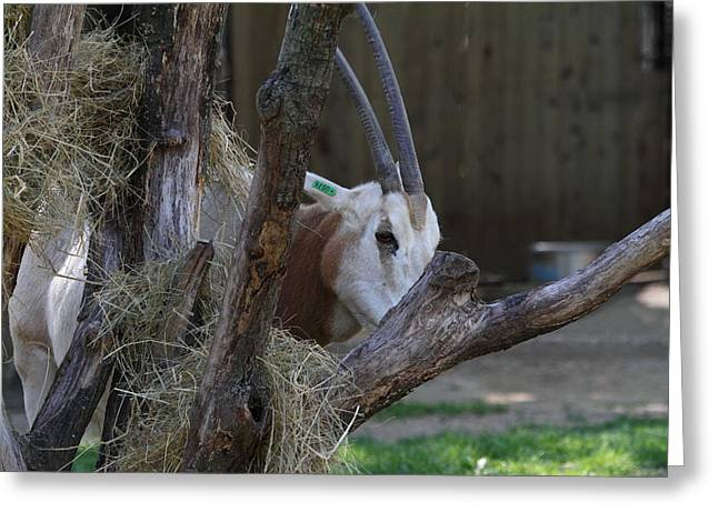 Scimitar Horned Oryz - National Zoo - 01131 Greeting Card by DC Photographer