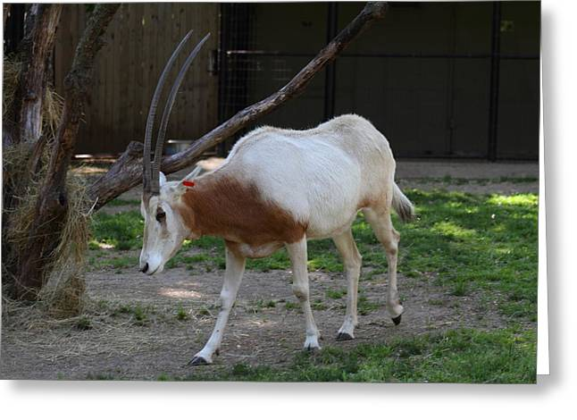 Scimitar Horned Oryz - National Zoo - 01132 Greeting Card by DC Photographer