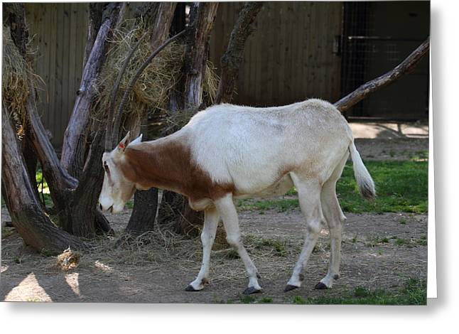 Scimitar Horned Oryz - National Zoo - 01133 Greeting Card