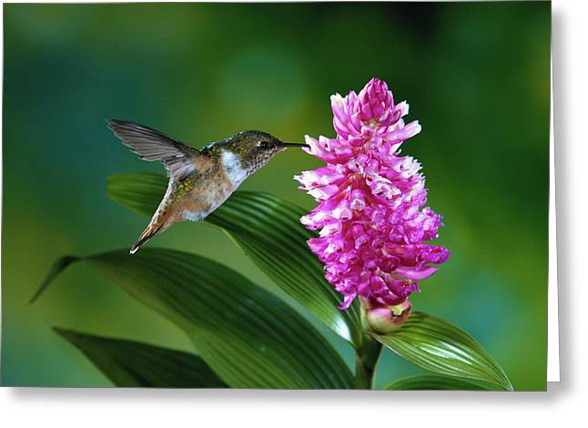 Scintillant Hummingbird Selasphorus Greeting Card by Michael and Patricia Fogden