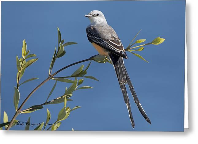 Scissor-tailed Flycatcher Greeting Card