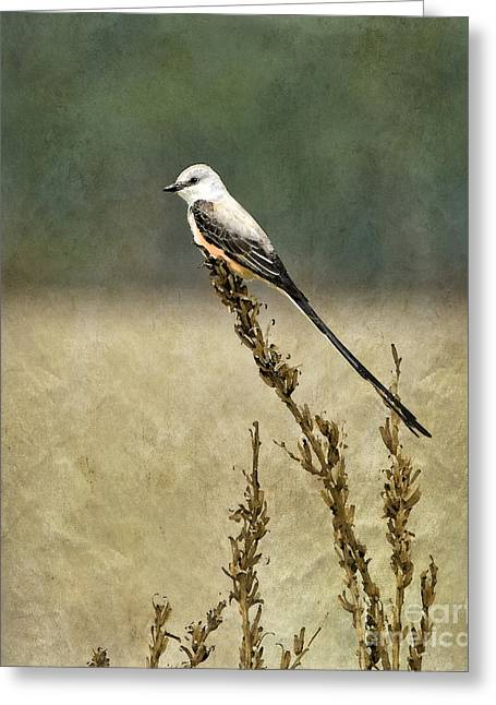 Scissortailed-flycatcher Greeting Card
