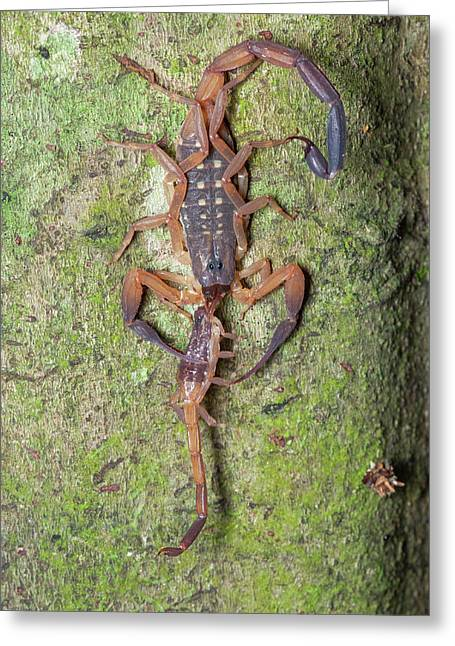 Scorpion With Prey Greeting Card