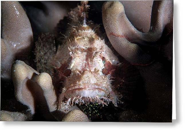 Scorpionfish Greeting Card by Ethan Daniels