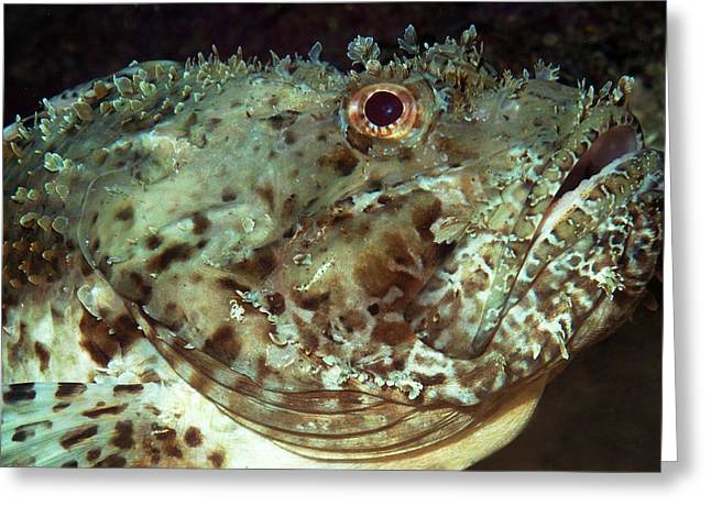 Scorpionfish Head Greeting Card