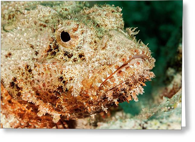 Scorpionfish Portrait, Bonaire, N Greeting Card by James White