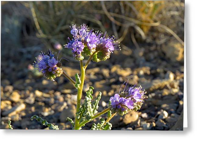Scorpionweed Greeting Card by Feva  Fotos