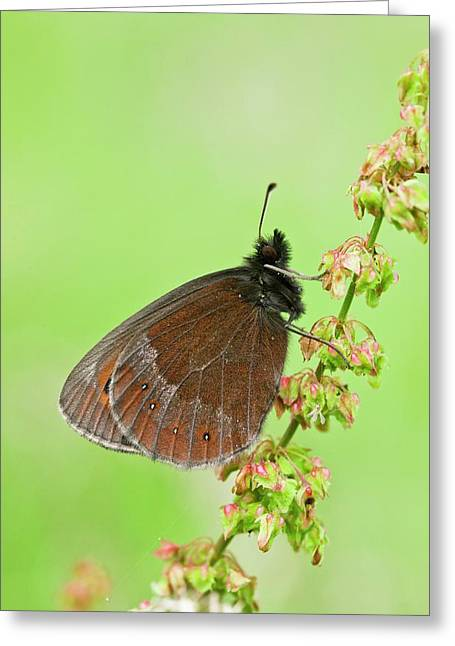 Scotch Argus Butterfly On A Dock Plant Greeting Card by Bob Gibbons