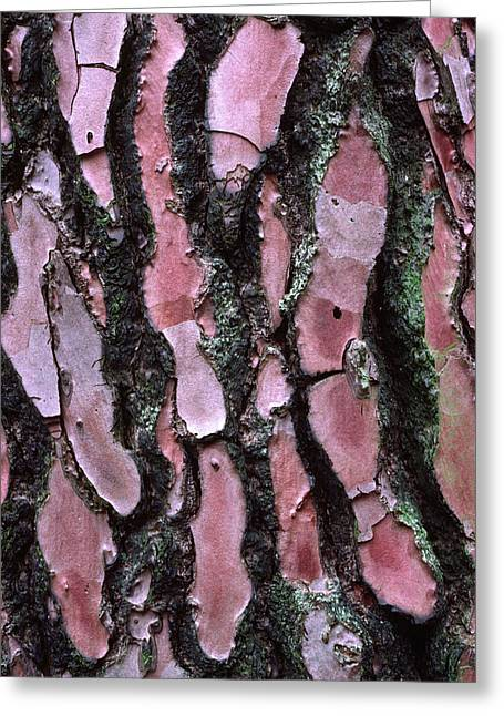 Scots Pine Bark Abstract Greeting Card by Nigel Downer